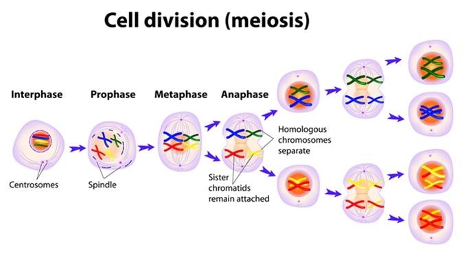 Meiosis. Cell division diagram. Image Credit: Designua / Shutterstock