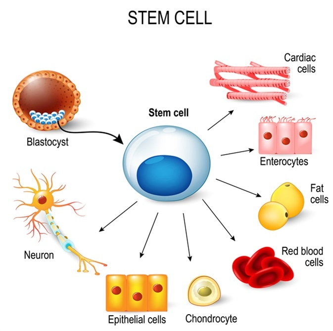 Stem cells. These inner cell mass from a blastocyst. Image Credit: Designua / Shutterstock