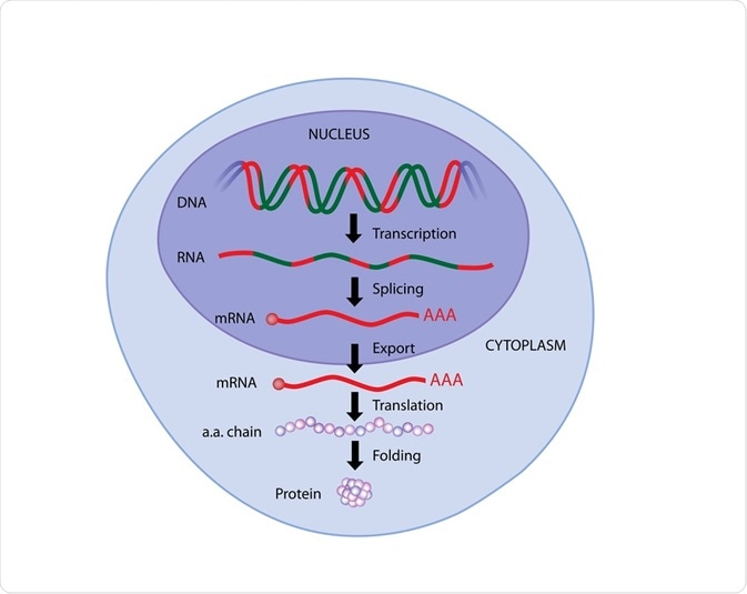 This diagram provides a visual overview of gene expression, from DNA to RNA, to protein.
