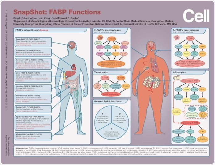 Study provides a SnapShot of FABP proteins linked to obesity